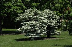 """Viburnum plicatum tomentosum Summer Snowflake.  This one is new, will go near Shasta to pollinate.  There are 2 in picture.  May be more upright, which would be great.  If it """"has one flaw, it's a lack of drought tolerance. Water is essential during periods of drought. Drip irrigation will keep the plant looking its best."""" By Sid Mullis(Atlanta)"""