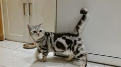 breeder of British shorthair black silver tabby and spotted kittens cats British Shorthair, 6 Months, Cats And Kittens, Black Silver, Cute, Animals, 6 Mo, Animales, Animaux