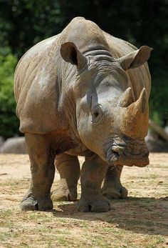 There are two kinds of rhinoceros in Africa. The black rhino (Diceros bicornis) is named for its dark color and the white rhino (Ceratotherium simum), also known as a square-lipped rhino, is named not only for its pale color but also for its wide mouth. Safari Animals, Nature Animals, Animals And Pets, Baby Animals, Cute Animals, Strange Animals, Wild Animals, Animal Original, White Rhinoceros