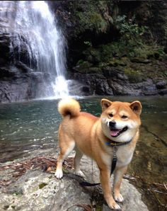 Shiba Inu Berry loves being in nature and taking photos. What a handsome Doge!You can find Shiba inu and mor. Beautiful Dogs, Animals Beautiful, Cute Animals, Shiba Inu Doge, Shibu Inu, Pet Dogs, Dog Cat, Weiner Dogs, Hachiko