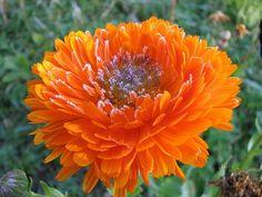 Körömvirág ültetése és gondozása