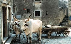 In the village of Grožnjan, Istrian Boscarin oxen (which are almost never eaten) do most of the heavy lifting.