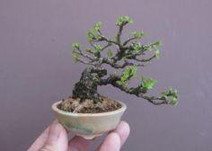 盆栽鉢:丸鉢ばかりじゃ飾れない|春嘉の盆栽工房