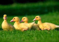 Keeping ducks in the garden: Ducks are easier to keep than chickens - and much quieter. I want ducks in my garden. Keeping Ducks, Keeping Chickens, Pet Ducks, Baby Ducks, Pet Chickens, Chickens Backyard, Farm Animals, Cute Animals, Raising Ducks