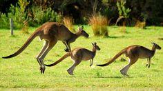 Kangaroos--the national symbol of Australia
