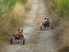 wheeled Corgis going for a walk Dachshunds, Doggies, Dog Wheelchair, Herding Dogs, Corgi Dog, Mixed Breed, Sweet Sweet, I Love Dogs, Make Me Smile
