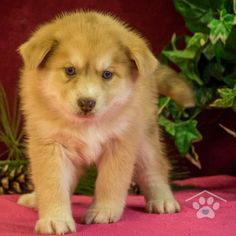 ADOPTED - Hello, my name is Rocco. I am a stunning male Pomsky. I am spunky and I live for your attention. I love people of all ages. I love to play and I am sure not to disappoint you.