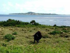 Cows graze along the roadside on Iriomote Island in Okinawa. (c) GTH & Nathan DePetris