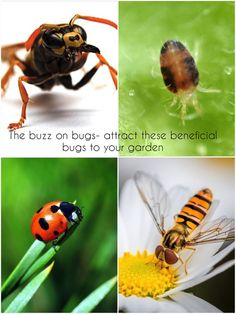 Learn how to attract these beneficial bugs to your garden