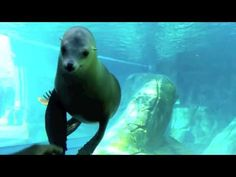 Playful Sea Lion at the St.Louis Zoo 2015