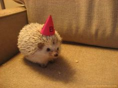 Party hedgehog.  This has to be the best cute animal picture of all time.  I can't look at it without wanting to dance!