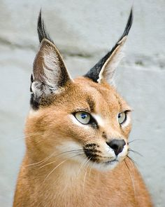 Caracal small cat by Helen Tisbury