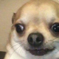 33 New Ideas funny memes dogs lol Cute Animal Memes, Animal Jokes, Cute Memes, Cute Funny Animals, Stupid Funny Memes, Funny Animal Pictures, Funny Relatable Memes, Funny Dogs, Funny Dog Faces