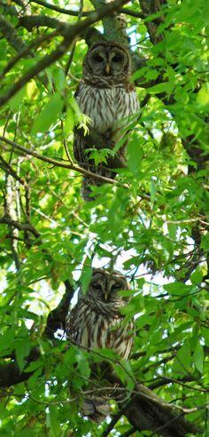 Barred owls in a tree in my backyard