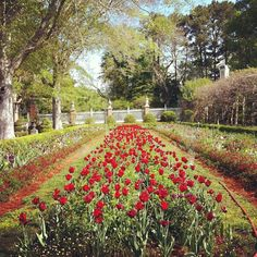 Colonial Williamsburg #garden #virginia #flower #flowers Tulips Garden, Colonial Williamsburg, Spring Has Sprung, Founding Fathers, Garden Inspiration, Beautiful Flowers, Palace, Mothers, Virginia