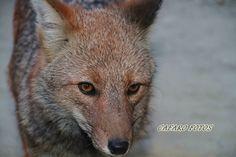 Zorro rojo Fox, Red Fox, Animales, Foxes