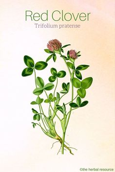 Herbal Medicine Red Clover Herb Uses, Side Effects and Benefits - Health Properties, Dosage, Benefits and Side Effects of Red Clover (Trifolium pratense) and Its History and Traditional Uses as a Medicinal Herb Healing Herbs, Medicinal Plants, Natural Healing, Herbal Plants, Natural Medicine, Herbal Medicine, Red Clover Benefits, Clover Plant, Herbs For Health