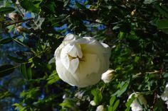Juhannusruusu Morsiusruusu Suviruusu Pohjolan kaunotar  Theresa-ruusu Valamonruusu aamuun