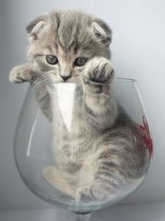 Kitty in a wine glass  #kitty #cat #cats #cute #animals