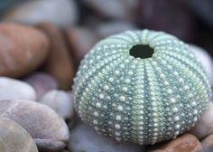 Sea Urchin Shell, Snail Shell, Sea Shells, Sea Urchins, Sea Life Art, Sea Art, Dot Painting, Stone Painting, Interiores Shabby Chic