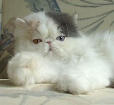 http://www.kittyinny.com/blog/the-quiet-companion-persian-cats