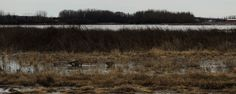 kevinmklerks posted a photo:  marshland located south of Gasoline Alley, Red Deer, Alberta, Canada