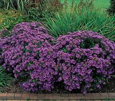 Aster Purple Dome great late season bloomer with good color and attracts pollinators
