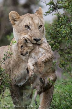 """""""After the bath"""" - Lioness with her cub after crossing a river."""