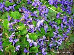 violet in my garden