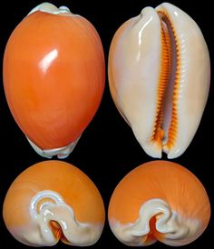 Apparently, these kind of shells are called cypraeidae...the world is so mysterious and amazing!  : )