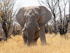 Namibie, Voyage, Afrique, Éléphant