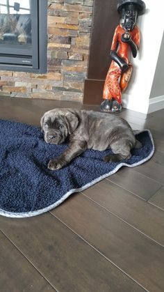 8 week old Cane Corso Cane Corso Mastiff, Cane Corso Dog, Cane Corso Puppies, Blue Cane Corso, Cute Puppies, Dogs And Puppies, Italian Dogs, Animals And Pets, Cute Animals