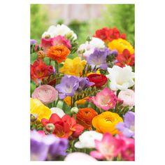 Echinacea /'Purpurea/' Primadonna Deep rose vivace PLUG plantes Pack x6