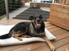 Quincy hasn't been a #Tripawd very long but he's sure hoppy! http://quincy.tripawds.com/2016/04/02/chilling-post-walk/