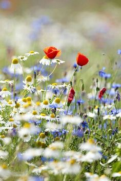 Daisies and other wild flowers are dancing in the meadow Wild Flowers, Beautiful Flowers, Meadow Flowers, Water Flowers, All Nature, Garden Inspiration, Mother Nature, Planting Flowers, Poppies