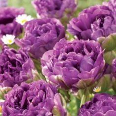 """Blue Wow Collector Series Tulip """"These fully double tulips have large, ruffled petals that resemble peonies, in fact, they are sometimes referred to as Peony Tulips. Mail Order Plants, Bulbous Plants, Perennial Bulbs, Cut Flowers, Garden Paths, Garden Inspiration, Flower Power, Perennials, Peonies"""