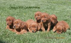 Irish Golden - This is the kind of dog I want!!!!  It is a mix between Irish Setter and Golden Retriever!