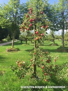 Oude fruitboom (appelboom) uit het assortiment van Schouten Bomen en Loonbedrijf Arch, Outdoor Structures, Garden, Plants, Longbow, Garten, Lawn And Garden, Gardens, Plant