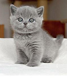 Russian Blue Cats Kittens british shorthair kitten - if we have to get a cat, I want this kind *wubbies* Blue Cats, Grey Cats, Cute Kittens, Cats And Kittens, British Blue Cat, All Cat Breeds, Kitten Breeds, British Shorthair Kittens, Exotic Shorthair