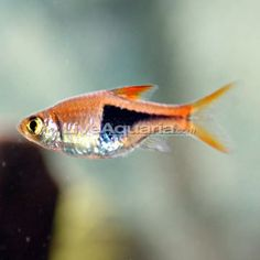 "$2= Harlequin Rasbora  Minimum Tank Size: 10 gallons Care Level: Easy Temperament: Peaceful Water Conditions: 72-77° F, KH 6-10, pH 6.0-6.5 Max. Size: 2""should be kept in schools of 8-10 individuals and housed with other small, peaceful fish. mild nature makes it a great community fish."