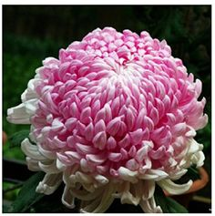 where to buy japanese chrysanthemums plant - Yahoo Image Search Results Perennial Flowering Plants, Perennials, Japanese Chrysanthemum, Chrysanthemum Flower, Mums The Word, Beautiful Flowers Garden, Beautiful Beach, Flower Seeds, Garden Supplies