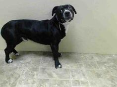 """TO BE DESTROYED 2/23/14   Brooklyn Center. My name is KAINO. My Animal ID # is A0991986.I'm a male black/ white pit bull mix. The shelter thinks I'm about 3 YRS old. Surrender reason was """"no time"""". This guy deserves so much more. Kaino's life depends on human compassion. Please share this little boy so  he has a chance to live!"""