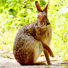The swamp rabbit (Sylvilagus aquaticus)
