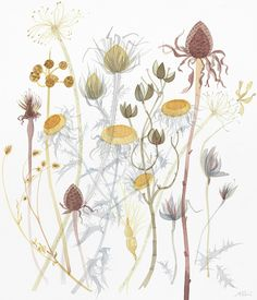 """""""Coneflower with Spanish Seedheads"""" a watercolour by Angie Lewin. Exhibited in Edinburgh from 1-30 May at The Scottish Gallery http://www.angielewin.co.uk/collections/a-natural-selection"""
