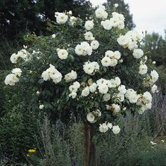 Breeders of the English Roses. Green Flowers, Beautiful Flowers, Standard Roses, Rooting Roses, White Plants, Rose Trees, Moon Garden, David Austin Roses, Antique Roses