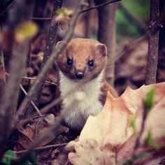 #marten #linz #austria #urfahr #marder #wildlife #hunting #tier #animal #baby #lnz #linzpictures #jagd #donaupark #nature #happyeaster #picoftheday