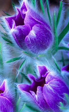 Lush purple pasque flowers • photo: Gregory John Summers on Bigstock