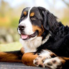 Bernese Mountain Dog |sweetmomentsintimephotography's photo on Instagram
