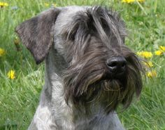 Ridley Cesky Terriers: Come and Meet the RIDLEY CESKY TERRIERS