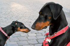 Min Pin meets Doberman Pinscher  #doberman #dog #dublindog